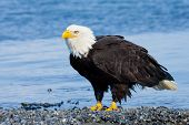 Bald Eagle on Beach - Alaska