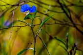 A Beautiful Blue Erect Dayflower with Stunning Golden Background