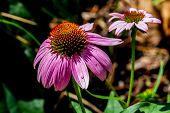 Closeup of a Beautiful Purple Coneflower in Texas.