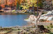 foto of bambi  - Fallow Deer Standing by the Lake on a Fall Day - JPG