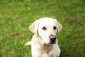 handsome yellow lab dog