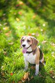 Beagle sitting in green grass