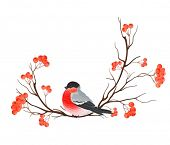 Bullfinch on branch of rowan, vector illustration.
