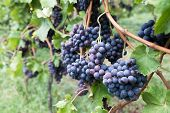 Ripe Cabernet Grapes