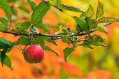 Red Apple Branch On A Autumn Leaves Background