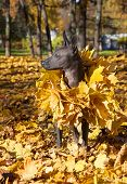 stock photo of mexican-dog  - Portrait of Mexican xoloitzcuintle dog in autumn park - JPG