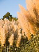 Cortaderia Selloana Background
