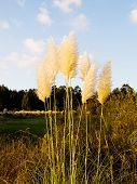 Cortaderia Selloana Outdoors