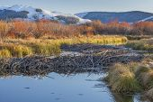 stock photo of dam  - beaver dam on North Platte River  above North Gate Canyon near Cowdrey - JPG