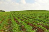 pic of fertilizer  - Crops growing on fertile farm land in Israel