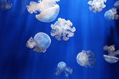pic of jellyfish  - School of jellyfishes in blue sea water