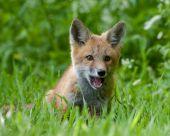 Red Fox Cub - Vulpe