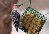 picture of woodpecker  - A beautiful female Red - JPG