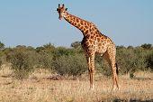 A large giraffe bull (Giraffa camelopardalis), South Africa