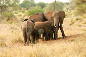 Elephant family protecting baby