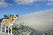 Sand Dunes And Dingo On  Fraser Island