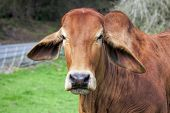 Brahman Cow Closeup Portrait