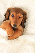 Longhair dachshund puppy in bed, winking.