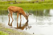 Deer drinks from lake