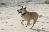 pic of cross-breeding  - cross breed brown dog running on the beach - JPG