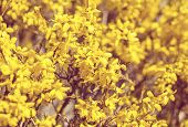 Yellow Flower Forsythia