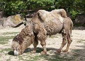 Shaggy Bactrian Camel