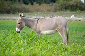Buckskin Donkey In Rye Grass
