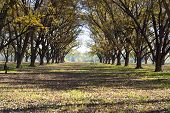 stock photo of pecan tree  - Landscape Pecan Grove Row Under Blue Sky - JPG