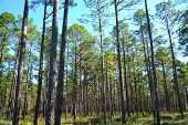 Landscape Planted Pines On Forestry Land