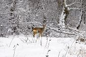Wintry Roe Deer