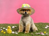 Groomed Pomeranian dog wearing a colored hat and sitting in grass with flowers and chicks in front o