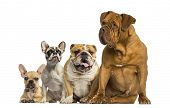 Dogue de Bordeaux and Bulldogs sitting and lying
