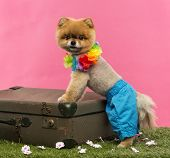 Groomed Pomeranian dog wearing shorts and Hawaiian lei and leaning on an old suitcase on grass in front of pink background