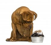 picture of dogue de bordeaux  - Dogue de Bordeaux sitting and looking at rabbits in a dog bowl - JPG