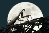 Praying Mantis With Full Moon