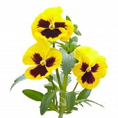 Viola Flowers On White Background