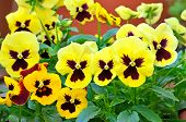 Yellow Viola Flowers