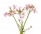 Hesperis Matronalis Flower On White Background