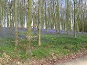 Bluebell Plants In A Wooded Area With Trees