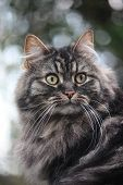 A Very Cute Long Haired Brown And Black Tabby Pussycat With Long Whiskers And Huge Eyes