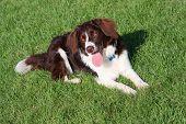 Very Cute Liver And White Collie Cross Springer Spaniel Pet Dog
