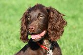 Very Cute Young Small Chocolate Liver Working Type Cocker Spaniel