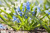 Scilla. Blue And White Spring Flowers. Selective Focus
