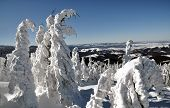 Snow Covered Spruces At Winter