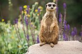 Meerkat Is Looking Around