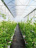 Field Watermelon In Greenhouse