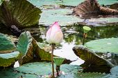 Pink Lotus On Dark Water In Pond And Reflex