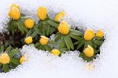 Winter Aconite  / Eranthis Hyemalis/ In Snow