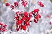 stock photo of frozen  - Frozen red Rose hips in the winter
