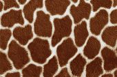 Giraffe skin background.